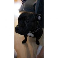 Staffordshire bull terrier for sale £200 in Hounslow